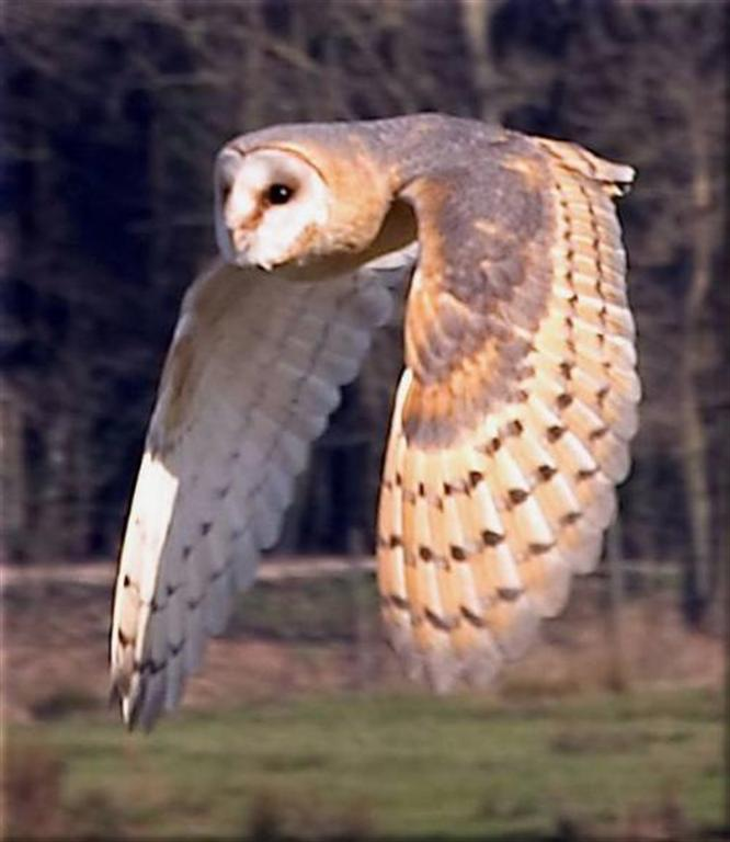 A Pledge of Owls