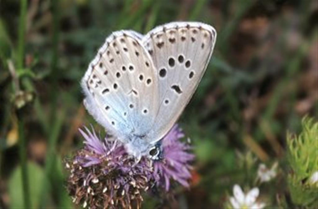 A curious tale of butterflies, ants, wasps and the passage of thyme